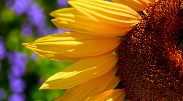 sunflower_sun_closeup600x334